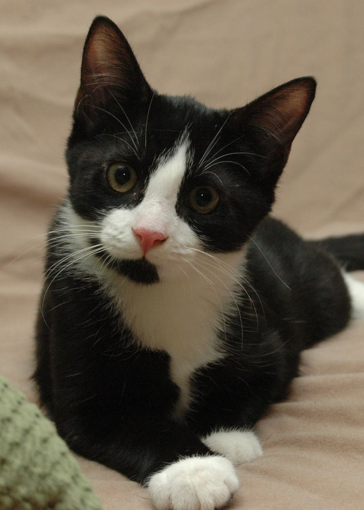 Tuxedo Cat Breed Cat would sport tuxedos #Accessories - more at Catsincare.com