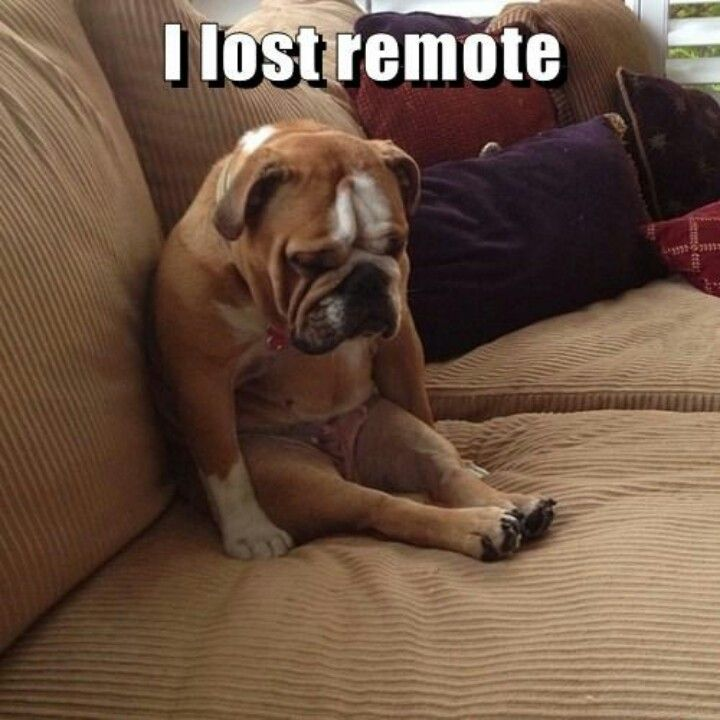 Bulldog sitting on Couch   wants to watch the dog whisperer TV Show  I Lost the Remote