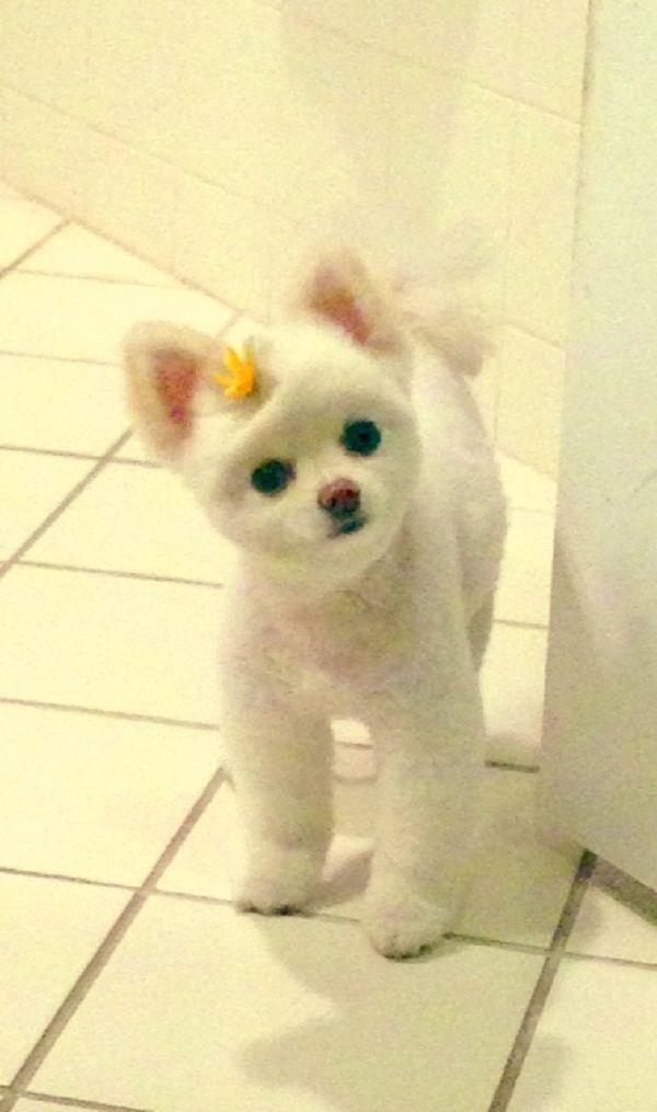 White Teddy Bear Pomeranian Puppies For Sale Zoe Fans Blog