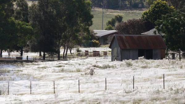 Australie - Des milliers de bébés araignées tombent du ciel
