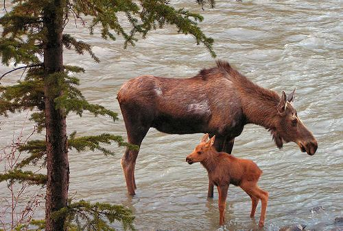 pictures of moose in Denali park | Denali Grizzly Bear Resort, Denali National Park, Alaska
