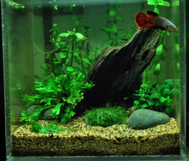1000 images about betta tank ideas on pinterest what 39 s for Planted tank fish