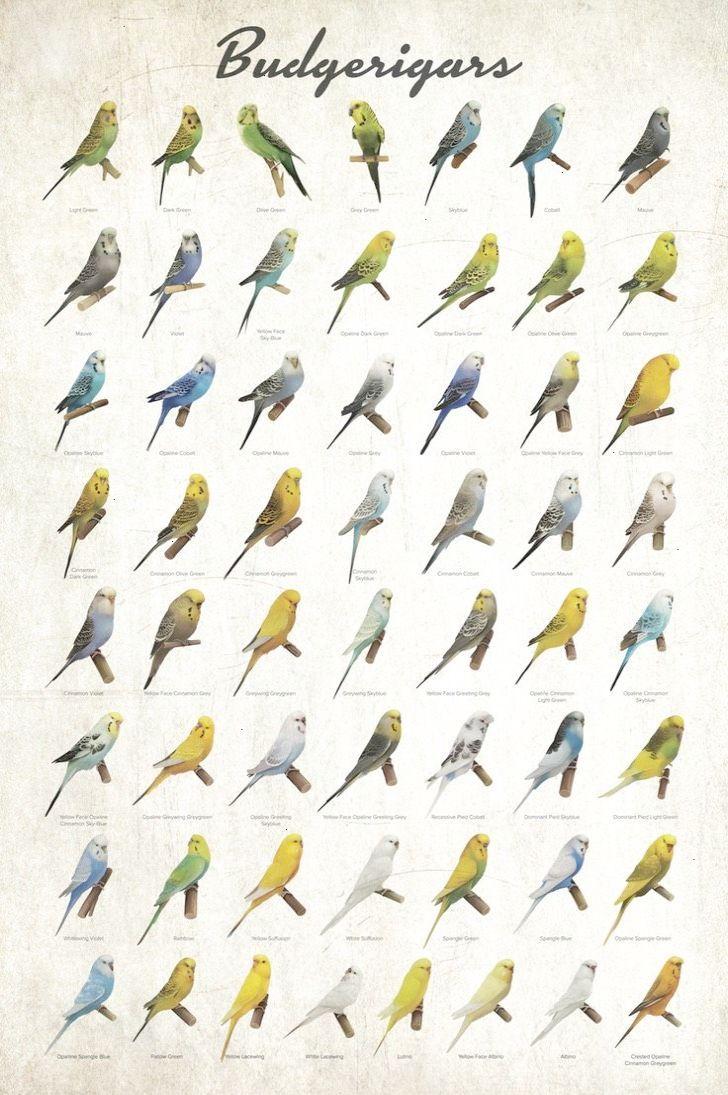 Budgerigar Colors Poster Budgerigar Budgies Bird Pet Birds