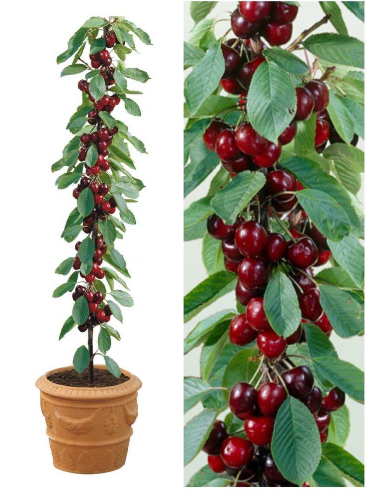 Cerejas vermelhas plantadas em vaso, Prunus 'Sylvia'. Árvore resistente. Cerejeiras são espécies de árvores frutíferas de clima temperado, algumas frutíferas, outras produtoras de madeira nobre. Estas árvores classificam-se no subgênero Cerasus incluído no gênero Prunus (Rosaceae).