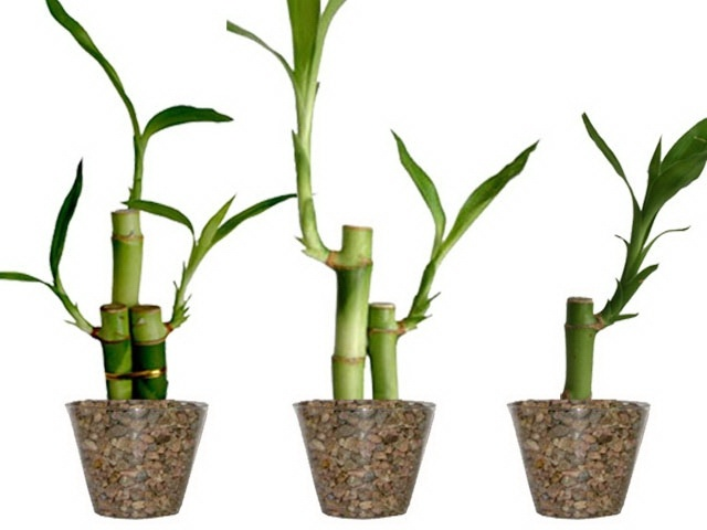 15 best Lucky Bamboo Plants images on Pinterest Lucky bamboo