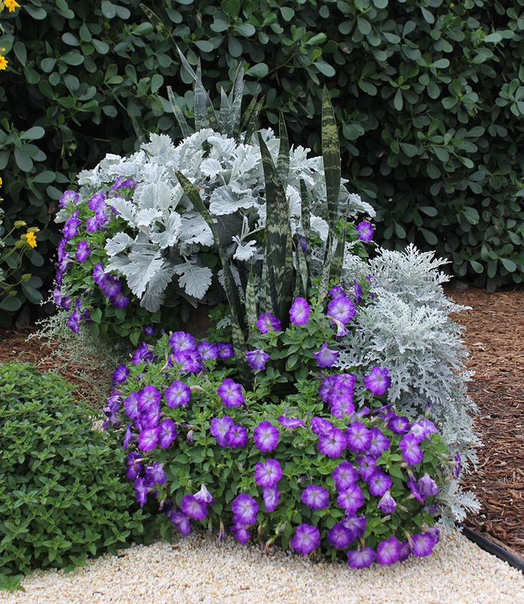 Combo plants tall container 3 dusty miller 2 blue petunia 1 snake plant combo plants short - Container gardens for sun ...