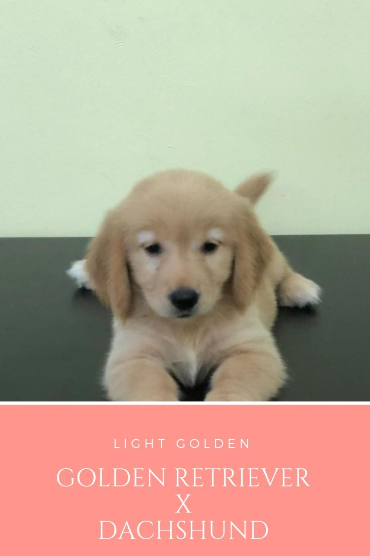 Pin By Puppy Singapore On Different Breed Of Puppies Golden Retriever Dachshund Corgi
