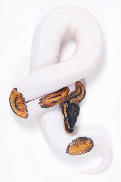 Python regius - Ball Python (byThor Hakonsen) #snake