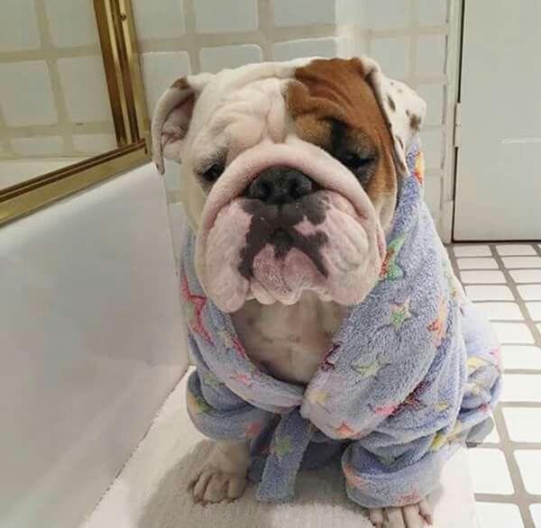 I Love Mornings Bulldog Breeds Dog Breeds Bulldog Puppies
