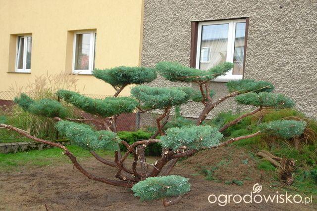Topiary - formy strzyżone inne niż cis i bukszpan - strona 14 - Forum ogrodnicze - Ogrodowisko