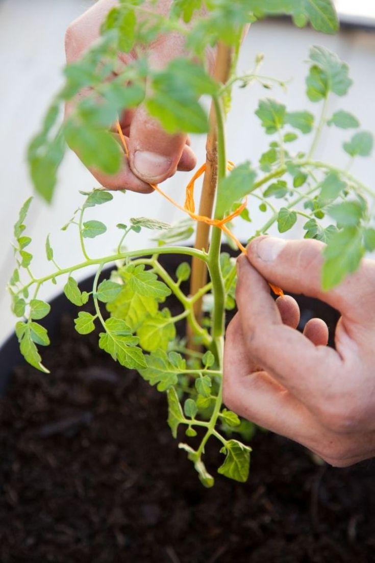 Planter des tomates cerises en pot : comment faire ? (avec ...