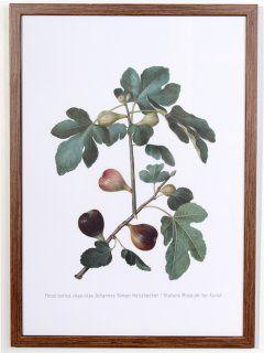 Ficus carica Poster, print size 32 cm x 44 cm 1649-1659 Johannes Simon Holtzbecher SMK.dk