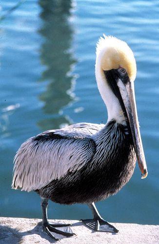 Pelican at the Garrison Bight docks: Key West, Florida