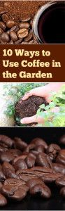 10 Ways You Can Improve Your Garden with Coffee Grounds see here http://blessmyweeds.com/10-ways-you-can-improve-your-garden-with-coffee-grounds/