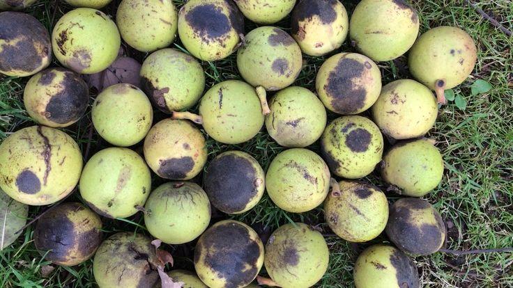 Black walnut (Juglans nigra) - fruit on the ground close up - November 2017