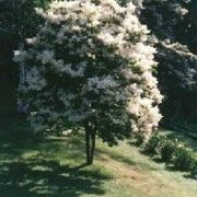 How to Plant a Japanese Lilac Tree | eHow
