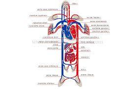 Animation circulation sanguine