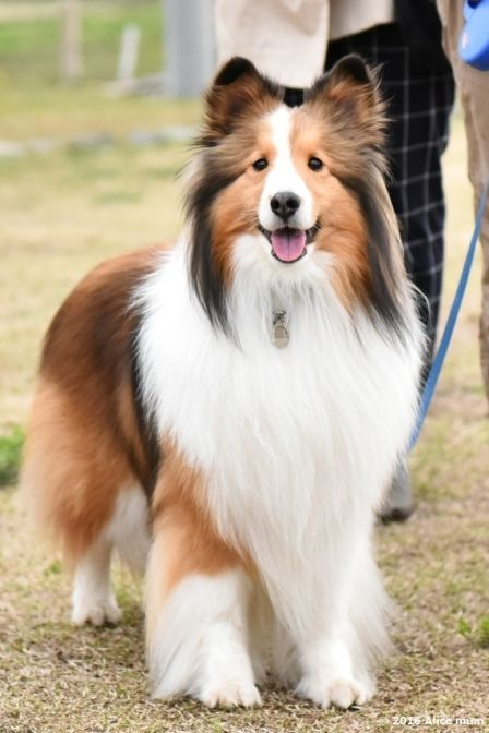 Pretty Sheltie