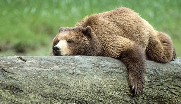 20 Fun Facts about Grizzly Bears - Tail and Fur