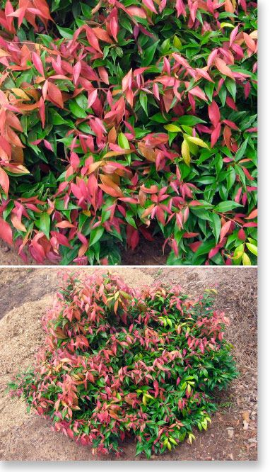 Syzygium 'Little Pily' for a stunning low hedge. Grows 1.5 x 1.2. Full Sun. Dry conditions. A super compact and dwarf form of Lilly Pilly. The aptly named 'Little Pilly' is excellent for low hedging, forming a dense display of 1 to 1.5m in height. 'Little Pilly' is loved for its foliage, with lovely flushed pink tones appearing on the new growth. These make for a stunning colour display against green backdrops.