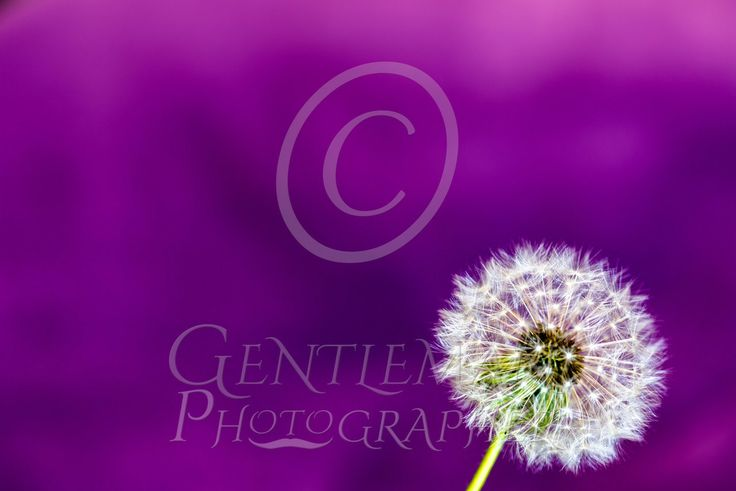 Time Flies Love dandelion clocks.... This one's perfect for a canvas