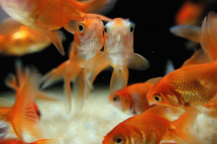 Coloratissimi pesci rossi #pesce #acquario #red #orange #fish #fishtank