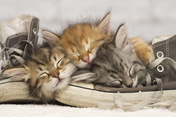 Kitten Dream Meaning 6 Types Of Kitten Dreams Siberian Kittens Sleeping Kitten Kitten Pictures