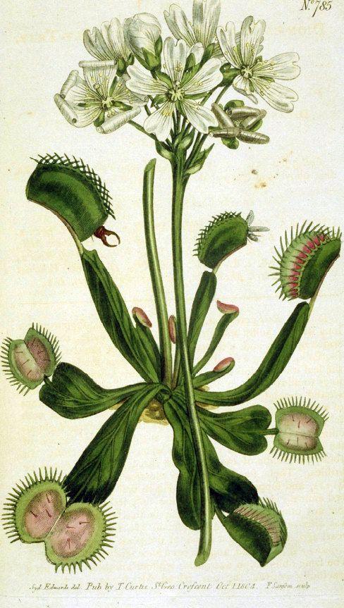 Drawing of Venus Flytrap - Venus flytrap - Illustration from Curtis's Botanical Magazine by William Curtis (1746–1799)