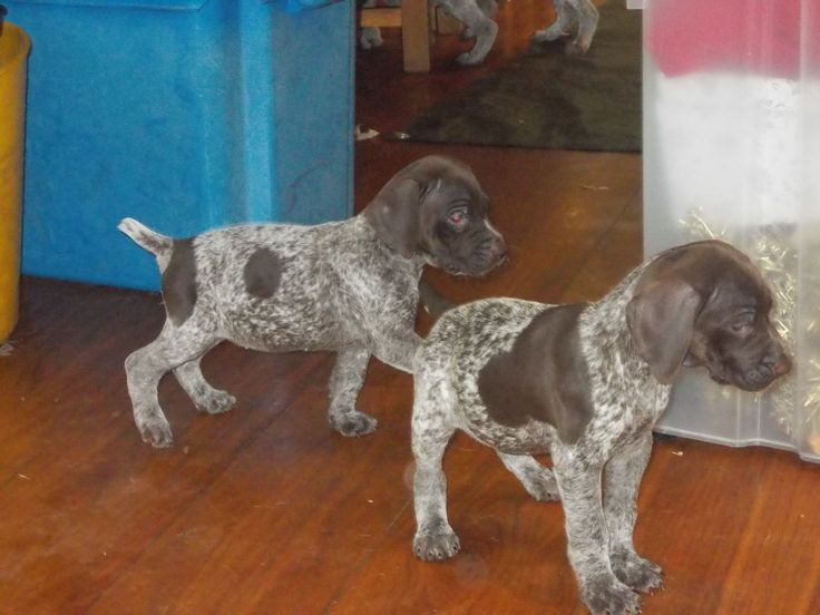 german shorthaired pointer puppies | German shorthaired pointer puppies for sale | Swansea, Swansea ...
