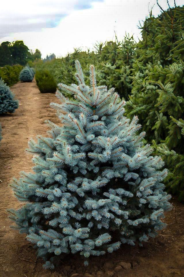 Baby Blue Eyes Spruce In 2020 Baby Blue Spruce Tree Blue Eyes