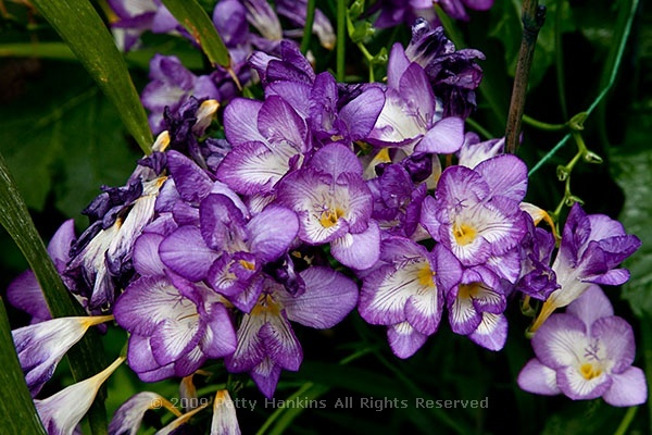 Blue Bayou Freesia