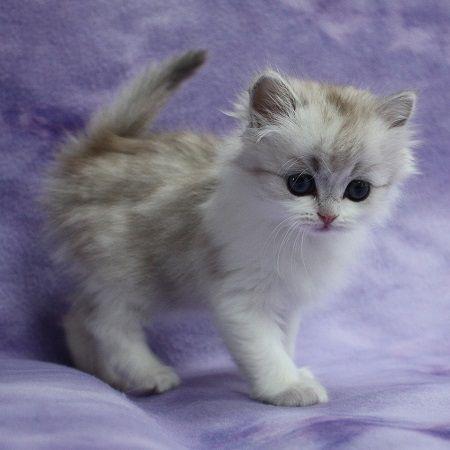 Information on Kaerik Rags RagaMuffin Kittens kittens