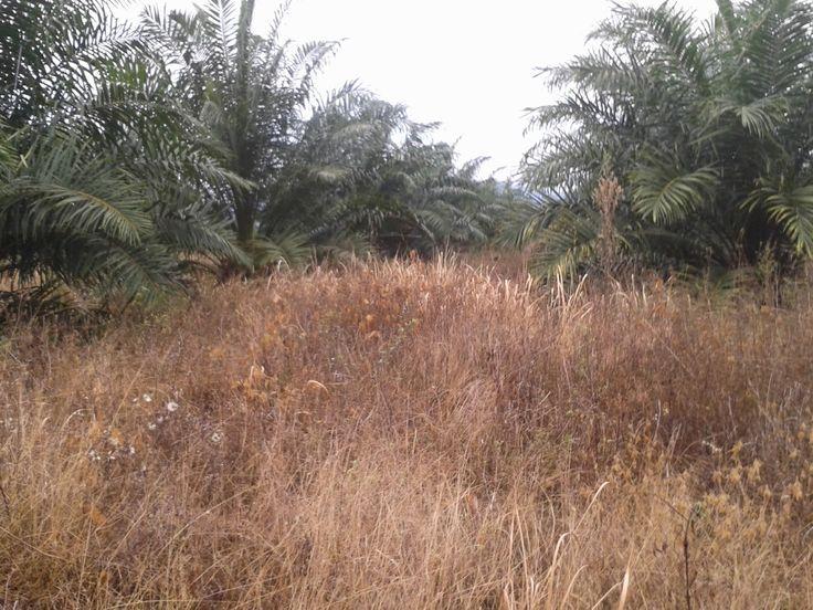 Herbisida buatan sendiri #herbisidaalami #herbisida #racunrumput
