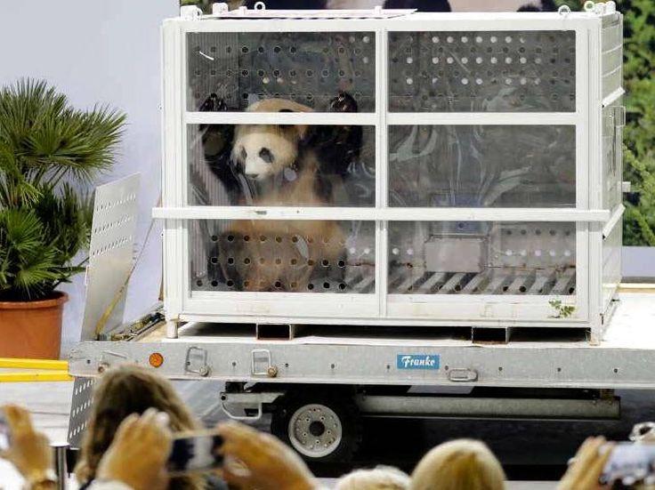 Dos pandas gigantes tienen nuevo hogar en Alemania