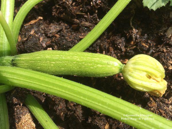 Zucchine in vendita al farmer market km0 a Vigoleno