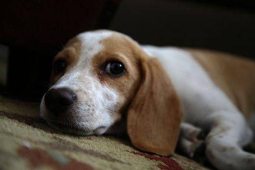 Lemon Beagle (just because)