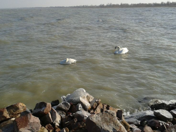 swans in the icy Balaton