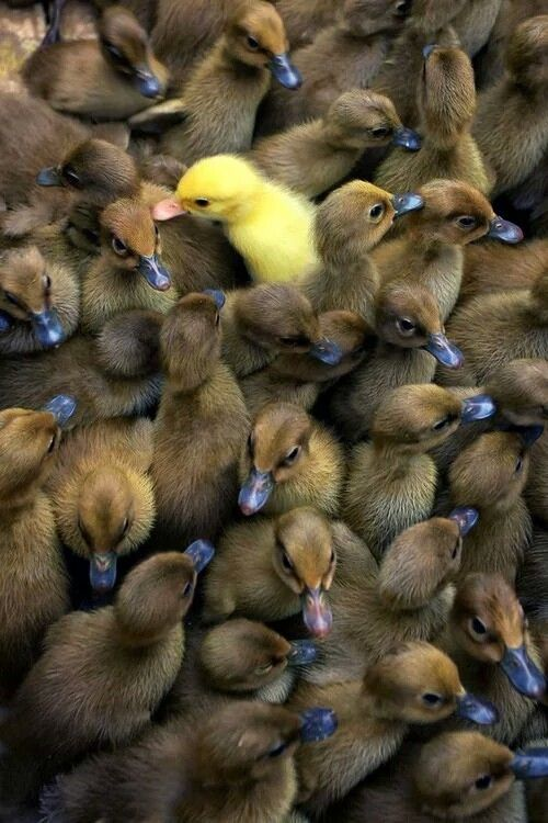 "The Yellow Duckling:  ""Why am I different?"""