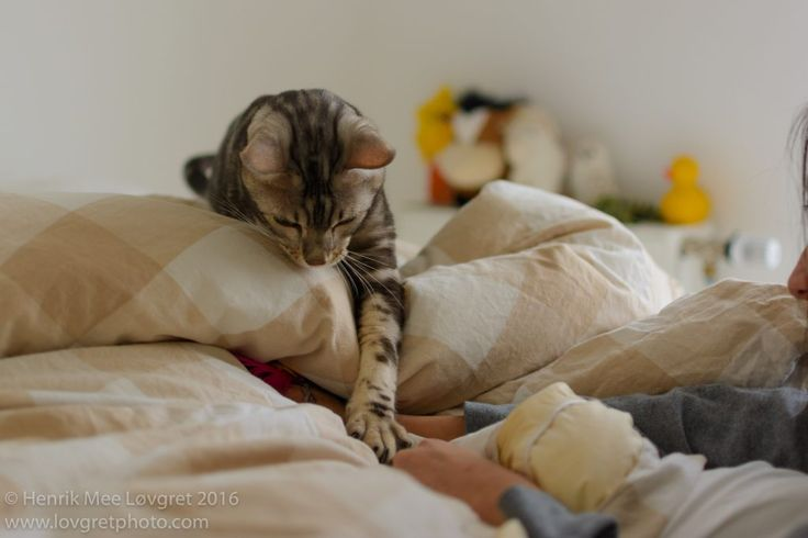 Bengal cat on blankets touching hand