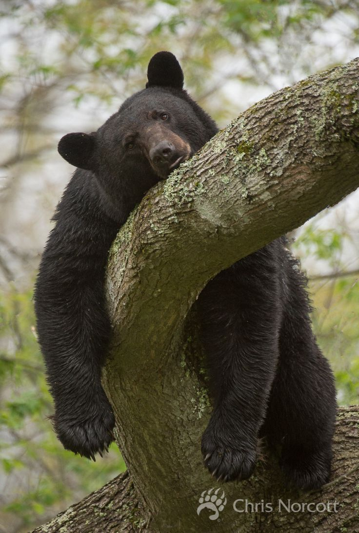 Large male black bear resting on a tree limb. Full from eating walnuts all afternoon.