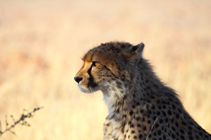 Male cheetah scanning the African lands, looking to hunt.