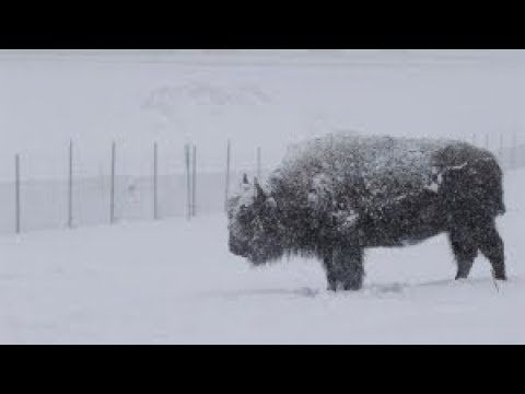 Yakama Nation's First Bison Hunt in West Yellowstone