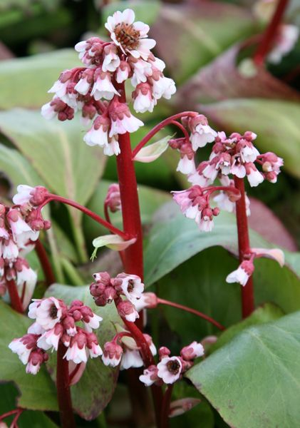Elephant's ears (syn. Silverlight ) Bergenia 'Silberlicht': Full sun or partial shade