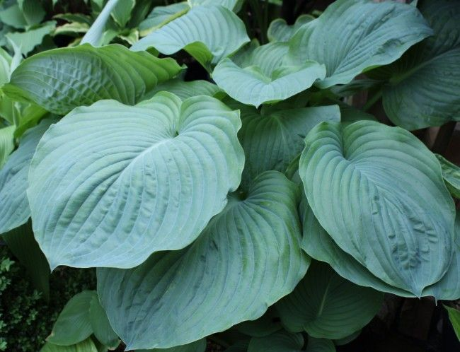 Hosta 'Big Bank'