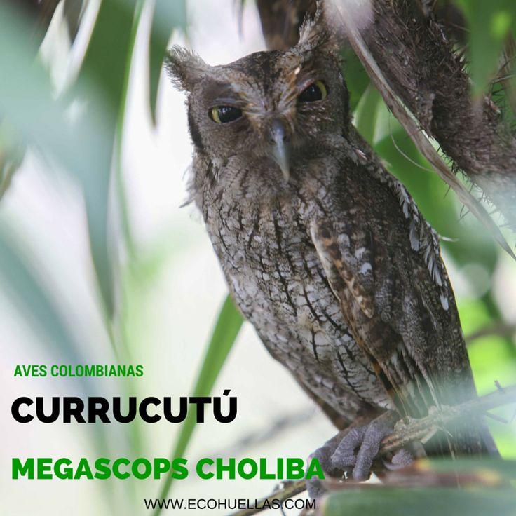 Currucutú, 📷 David Osorio L & Rafael Rincón  Aviario Nacional De Colombia #EcoHuellas #EcoCielo #AvesColombianas