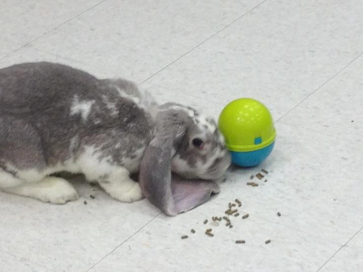 49 best English lop rabbit images on Pinterest  English Lop