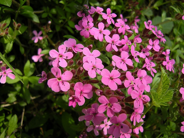 how hardy is soapwort and how to grow