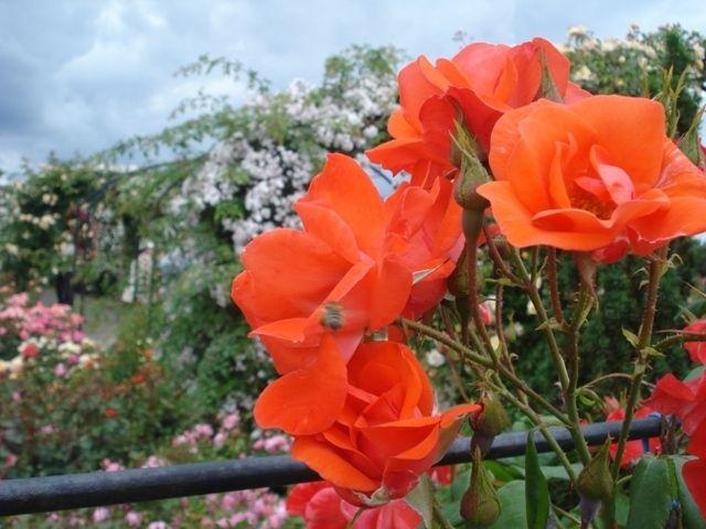 Eutopia Gardens (25 ha, near Arad, Romania) is the showgarden for our webshop: EutopiaMall.com