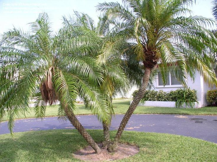 Full size picture of Pygmy Date Palm, Robellini Palm (Phoenix roebelenii)