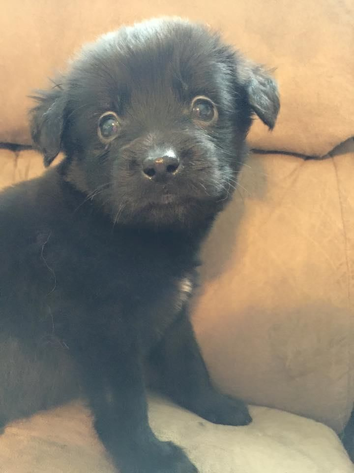 Meet+The+Sauces:+Ragu,+a+Petfinder+adoptable+Labrador+Retriever+Dog+ ...: https://www.pinterest.com/pin/455145106067731424/